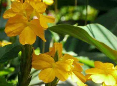 Кроссандра с жёлтыми цветами
