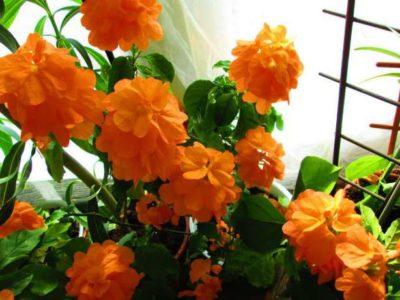 Соцветия кроссандры