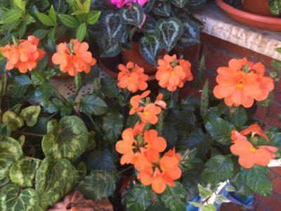Кроссандра в окружении цветов