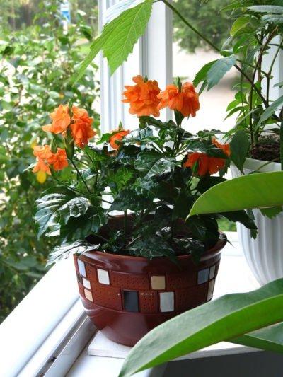 Кроссандра и другие цветы на подоконнике