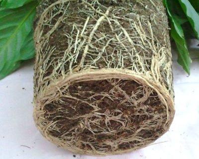 Земляной ком, оплетённый корнями