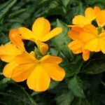 Кроссандра Тропик жёлтый