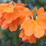 Кроссандра Orange Marmalade