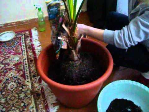 Как пересадить цветок пальма