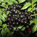 Плоды муррайи Кёнига