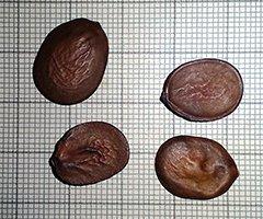 Семена баухинии