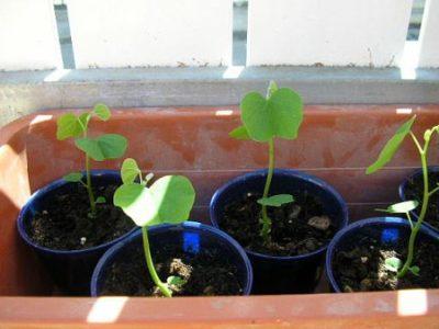 Сеянцы баухинии
