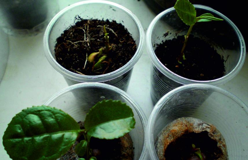 Как сажать семя чая 873