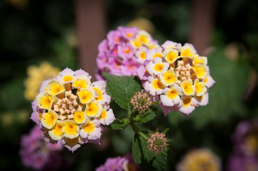 Лантана цветок в домашних условиях