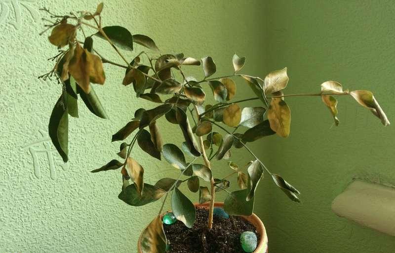 Засохли листья и стволы на лилиях