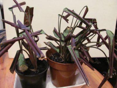 Свернувшиеся листья ктенанты
