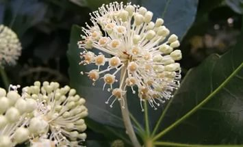 Цветок фатсии