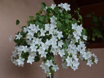 Цветки кампанулы