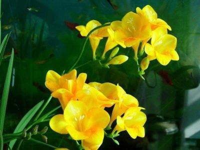 Цветок фрезии