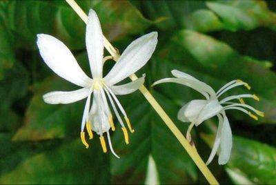 Цветы хлорофитума