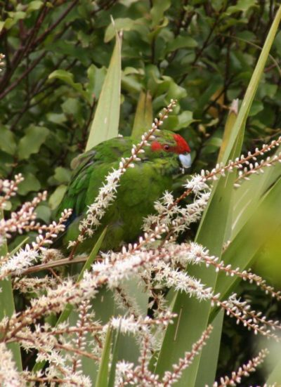 Цветы кордилины и попугай