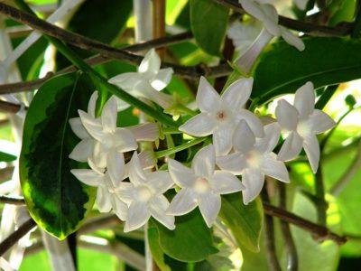 Цветы стефанотиса на побеге