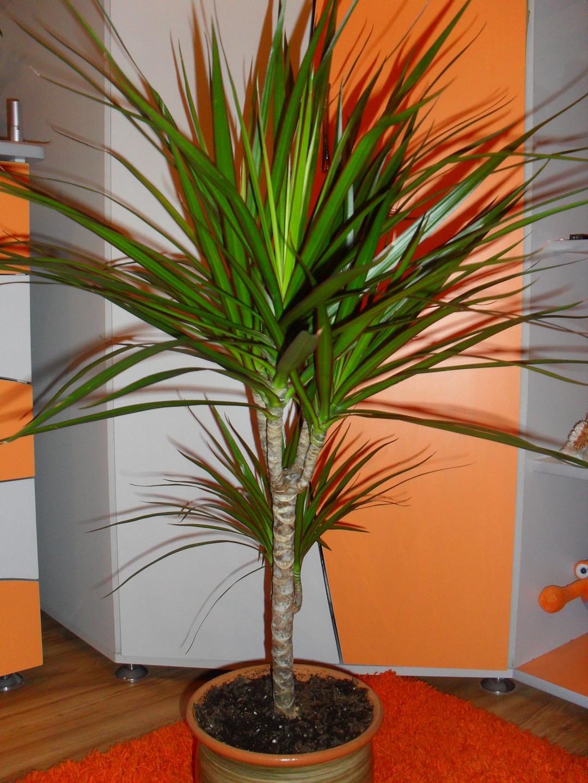 Комнатные цветы драцена уход в домашних условиях фото