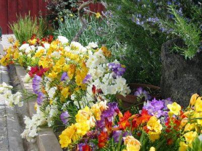 Фрезии в саду
