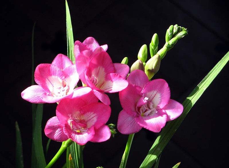 Цветок фрезия и уход в домашних
