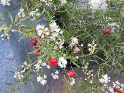 Цветение аспарагуса кистевидного
