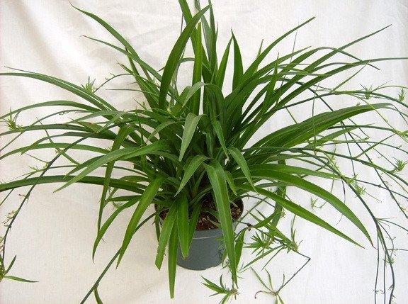Комнатное растение хлорофитум принципы ухода и