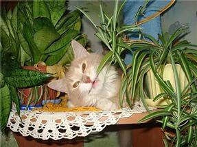 Хлорофитум и кот