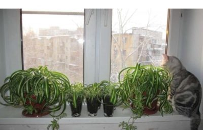 Хлорофитум на окне