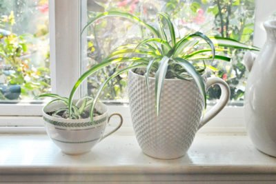 Хлорофитум в декоративных ёмкостях