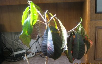 Кротон повесил листья