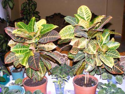 Кротоны и другие растения