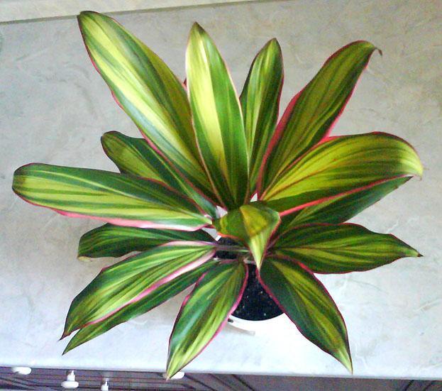 Правила ухода за экзотическим растением кордилина в