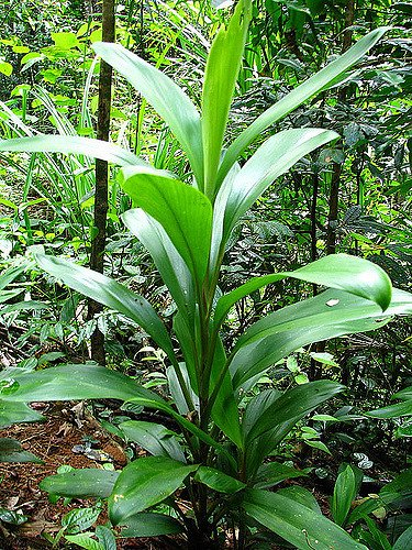 Кордилина с зелёными листьями