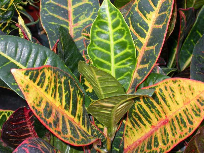 Кротон, или кодиеум: уход в домашних условиях, виды с фото, особенности выращивания, что делать, если сохнут и опадают листья +