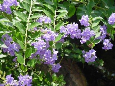 Лиловые цветки дуранты