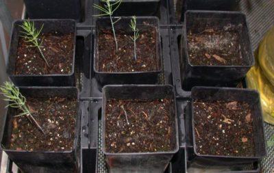 Размножение аспарагуса семенами