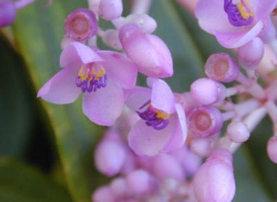 Цветение мединиллы Куминга