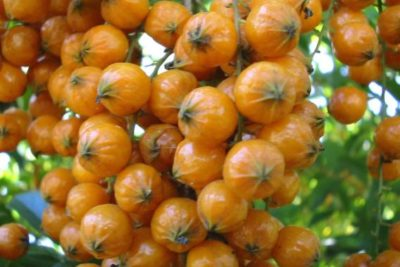 Семена дуранты из ягод
