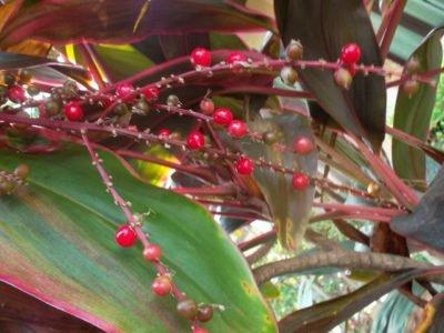 Плоды кордилины