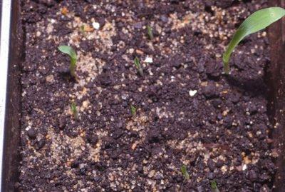 Сеянцы хлорофитума