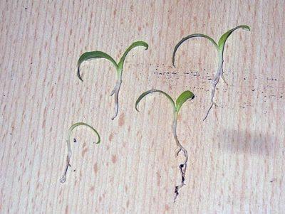 Сеянцы хлорофитума, готовые к посадке