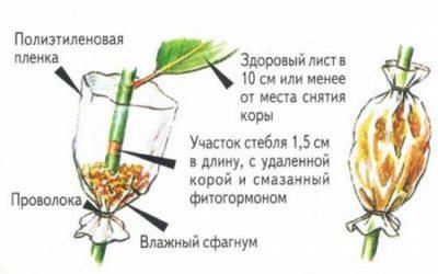 Схема укоренения с помощью воздушных отводок