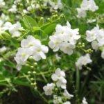 Сорт White Cayenne Vanilla Bush