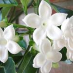Стефанотис флорибунда или обильноцветущий