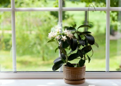 Стефанотис на окне