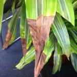 Сухие кончики листьев драцены