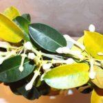 У стефанотиса желтеют листья