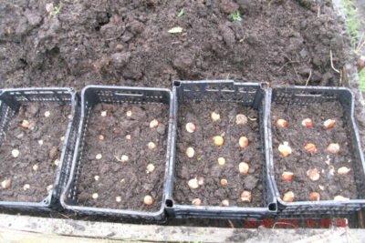Ящики с высаженными луковицами