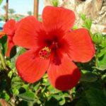 Гибискус «суданская роза»