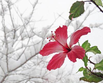 Гибискус цветёт зимой